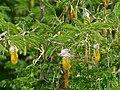 Sicklebush (Dichrostachys cinerea) (11530603044).jpg