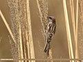 Sind Sparrow (Passer pyrrhonotus) (32405118184).jpg