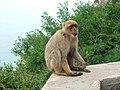 Singe macaque.jpg