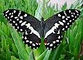 Skoenlapper Citrus Swallowtail.JPG