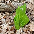 Skunk Cabbage Awakening - Flickr - treegrow (3).jpg