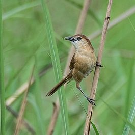 Slender-billed Babbler.jpg