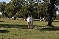 Slovenia Lipica (8875788301).jpg