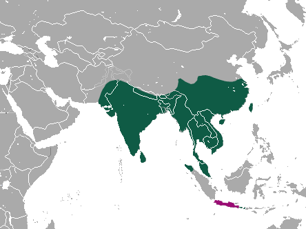 Small Indian Civet area