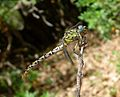 Small Pincertail. Onychogomphus forcipatus ( ssp. unguiculatus) . Female - Flickr - gailhampshire.jpg