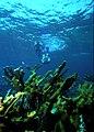 Snorkelers at Elkhorn Reef.jpg