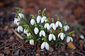 Snow Drop Flower 9068.jpg