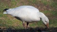File:Snow Goose in Central Park (33127).webm