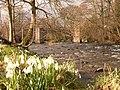 Snowdrops by the River Tanat at Llanyblodwel - geograph.org.uk - 228165.jpg