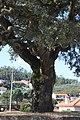 Sobreiro do Largo da Igreja - Parada de Todeia, Paredes - 05.jpg