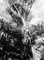 Sockerpalm (Arenga Saccarifora) ur vilken infödingarna tappa sitt palmvin - SMVK - 000332.tif