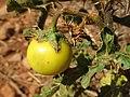 Solanum linnaeanum (Solanaceae) (Black-spine nightshade) - (fruit-bearing), San Vito Lo Capo (comuni), Italy.jpg