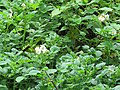 Solanum tuberosum -potato on way from Gangria to Govindghat at Valley of Flowers National Park - during LGFC - VOF 2019 (7).jpg