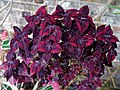 Solenostemon 'Red Velvet' Coleus ~ Myddelton House, Enfield, London, walled garden greenhouse.jpg