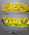 Solidago gigantea (subsp. serotina) sl25.jpg
