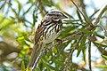 Song Sparrow in tree.jpg