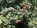 Sorbus aucuparia fruit.JPG