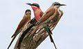 Southern carmine bee-eater, Merops nubicoides, Savuti marsh, Chobe National Park, Botswana (32421991776).jpg