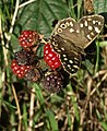 Speckled Wood at Walton on the Hill - geograph.org.uk - 974428.jpg