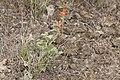 Sphaeralcea munroana 9785.JPG