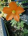 Sphaeralcea munroana grown in nursery.jpg