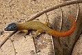 Sphaerodactylus fantasticus fantasticus (51113243252).jpg