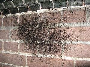 Leiobunum-Aggregation an einer Hauswand