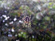 Spider vdg.jpg