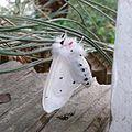 Spilosoma vestalis, the Vestal tiger-moth.jpg