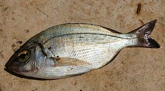 Porgy fishing - Black seabream