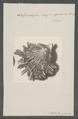 Spondylus crassi-squama - - Print - Iconographia Zoologica - Special Collections University of Amsterdam - UBAINV0274 074 10 0016.tif
