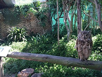 Spotted eagle-owl - A juvenile at the World of Birds, Hout Bay, Cape Town.