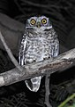 Spotted Owlet Athene brama by Dr. Raju Kasambe DSCN9209 (1).jpg