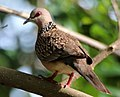 Spotted dove (alu kobeiyya).jpg