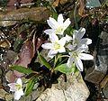 Spring Beauty (Claytonia lanceolata) in Logan Pass - Flickr - Jay Sturner.jpg