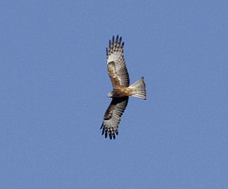 Square-tailed kite - Kobble Creek, SE Queensland