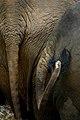 Sri Lanka Elephant Tails (14597157).jpg
