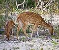 Sri Lankan spotted deer in Yala sanctuary.jpg