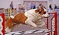 St Bernard Dog agility.jpg