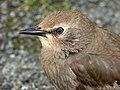 Starling Juvenile (7481533442).jpg