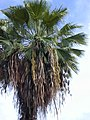 Starr-010914-0070-Washingtonia robusta-in fruit showing beard-Lahaina-Maui (24433900282).jpg