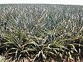 Starr-020630-0023-Ananas comosus-field-Makawao-Maui (24467940401).jpg