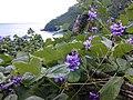 Starr-021012-0002-Pueraria montana var lobata-with flowers and ocean-Honomanu Hana Hwy-Maui (23926075543).jpg