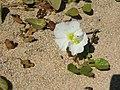 Starr-050618-2545-Ipomoea imperati-habit-Kanaha Beach-Maui (24648471302).jpg