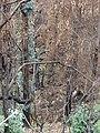 Starr-070908-9252-Eucalyptus globulus-rebounding after fire-Polipoli-Maui (24597407920).jpg