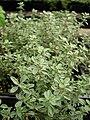 Starr-080117-1546-Thymus citriodorus-Argenteus habit-Walmart Kahului-Maui (24873860266).jpg