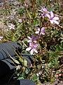 Starr-090504-7218-Erodium cicutarium-flowers and fruit-Science City-Maui (24860822381).jpg