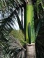 Starr-090506-7448-Roystonea regia-fruit and shaft-YMCA Keanae-Maui (24860635321).jpg