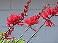 Starr-090813-4172-Erythrina crista galli-flowers-Kahului-Maui (24945723726).jpg