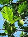 Starr-091104-0774-Artocarpus altilis-fruit and leaves-Kahanu Gardens NTBG Kaeleku Hana-Maui (24987573165).jpg
